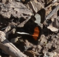 Photo of Grapevine Epimenis Moth on NaturalCrooksDotCom