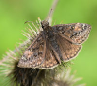 Juvenals Duskywing SheridanMeadows MississaugaONCanada 20170524 on NaturalCrooksDotCom