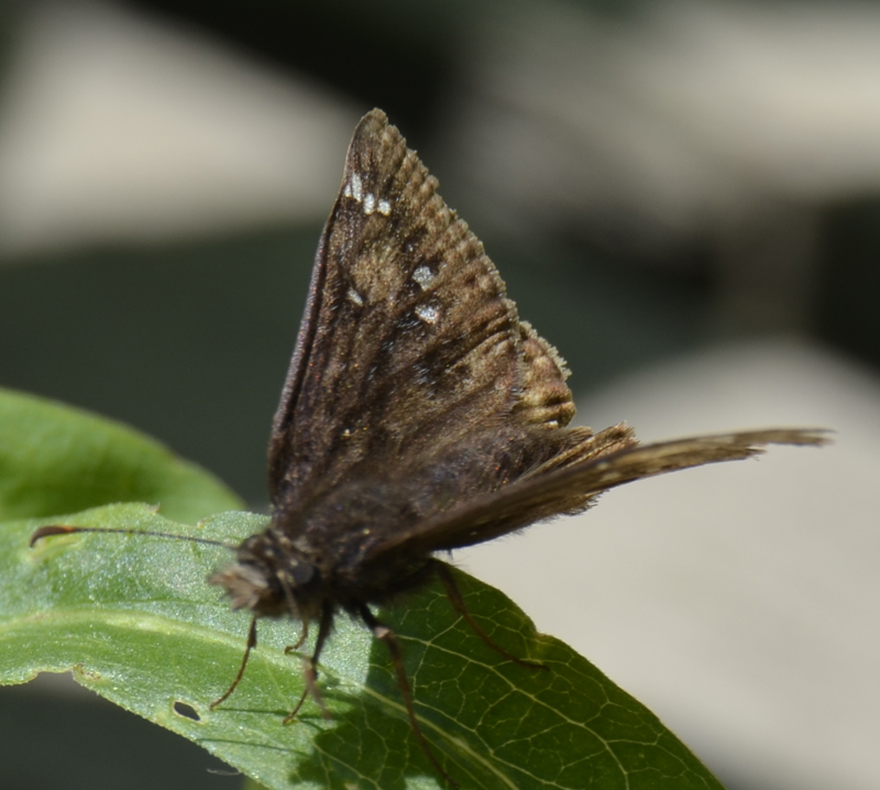Photo of Juvenals Duskywing b on NaturalCrooksDotCom