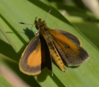 Photo of Least Skipper 2015 June 2 on NaturalCrooksDotCom