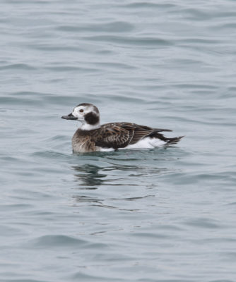 Photo of Long Tailed Duck Smiling on NaturalCrooksDotCom
