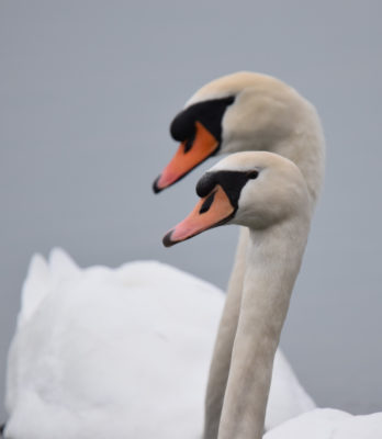 Photo of Mute Swan Pair Tango on NaturalCrooksDotCom