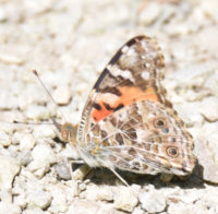 Photo of Painted Lady Riverwood Conservancy MississaugaONCanada 20170603 on NaturalCrooksDotCom
