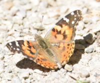 Photo of Painted Lady Top Riverwood Conservancy MississaugaONCanada 20170603 on NaturalCrooksDotCom