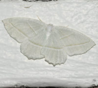 Photo of Pale Beauty Moth Riverwood on NaturalCrooksDotCom