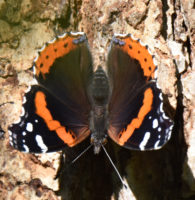 Photo of RedAdmiralBronteCreekPPONCanada2016July15 on NaturalCrooksDotCom