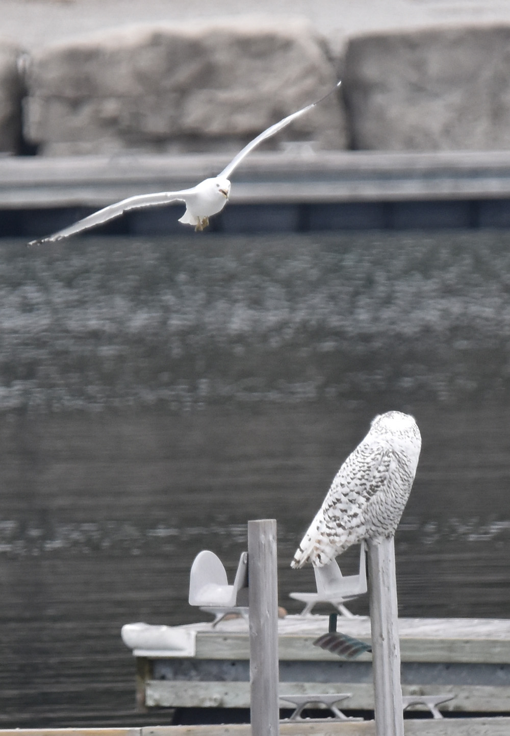 Photo of Ring billed Gull Harrassing Snowy Owl on NaturalCrooksDotCom
