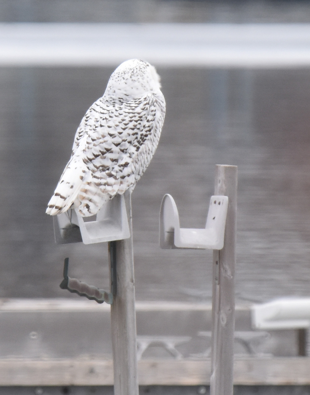 Photo of Snowy Owl Back Head on NaturalCrooksDotCom
