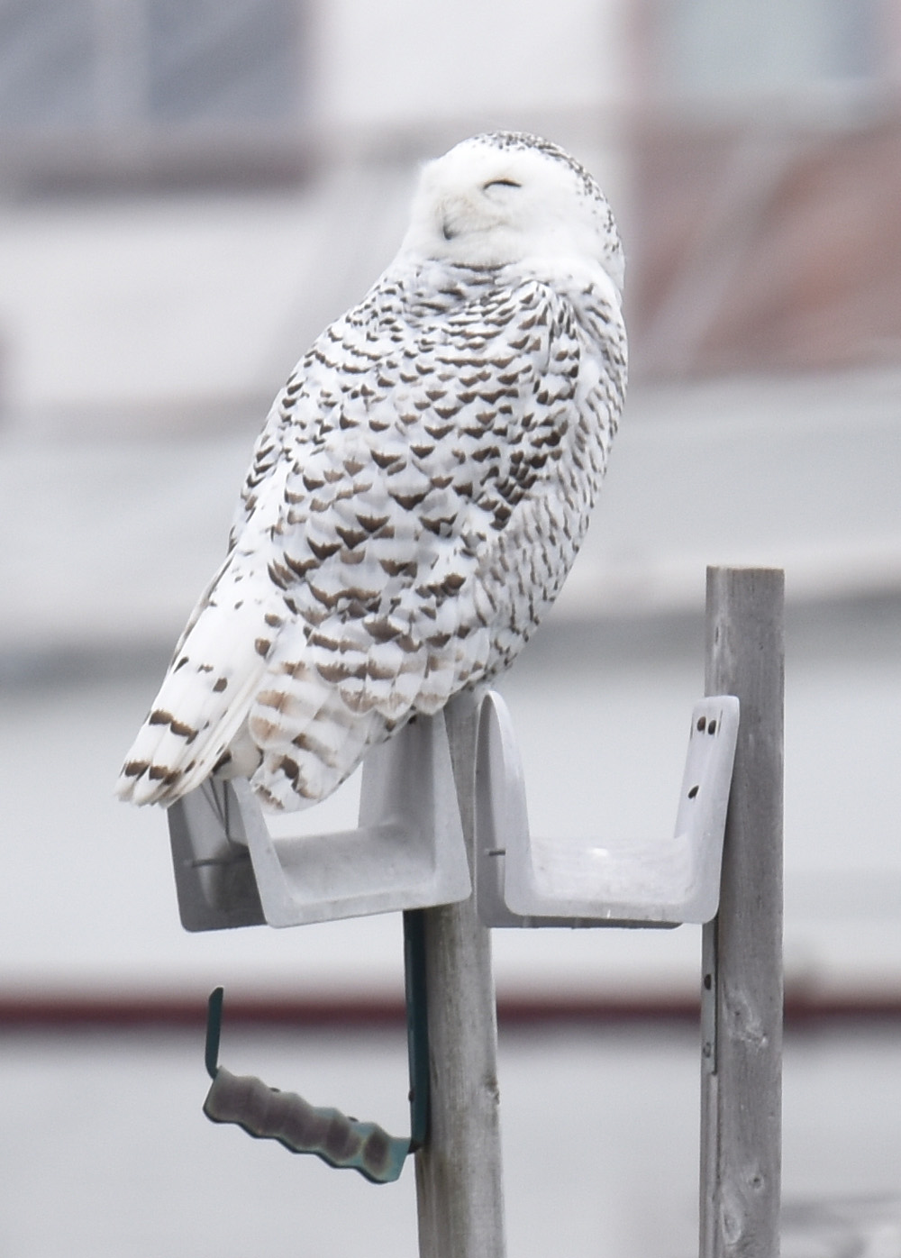 Photo of Snowy Owl Happy on NaturalCrooksDotCom