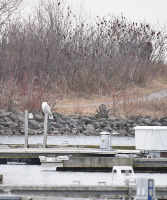 Photo to Spot the Snowy Owl on NaturalCrooksDotCom