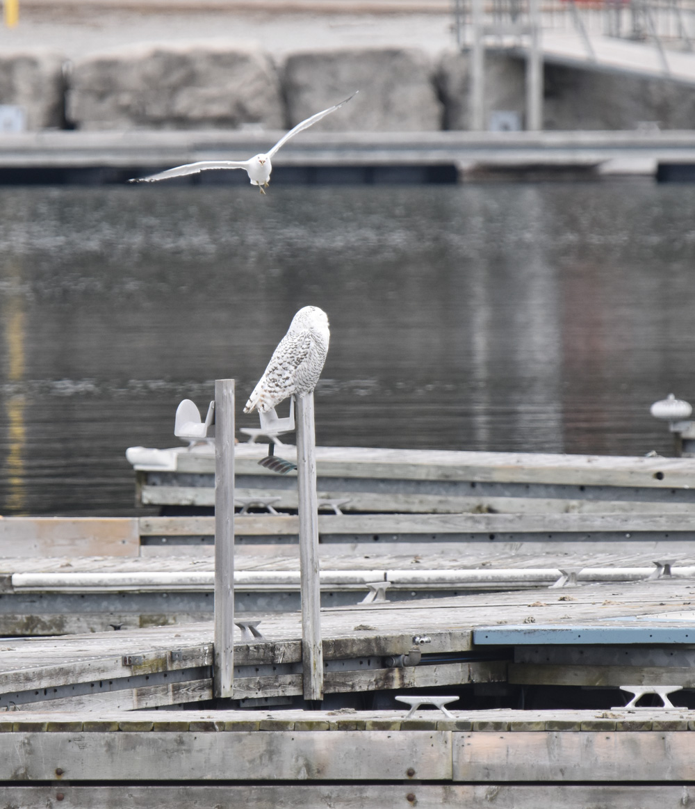 Photo of Snowy Owl Turning to Face Gull on NaturalCrooksDotCom