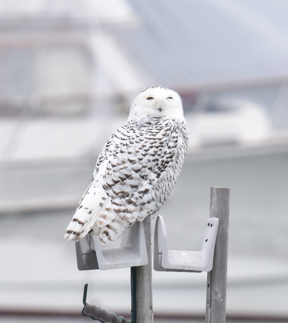 Photo of Snowy Owl Widest Eyes On NaturalCrooksDotCom