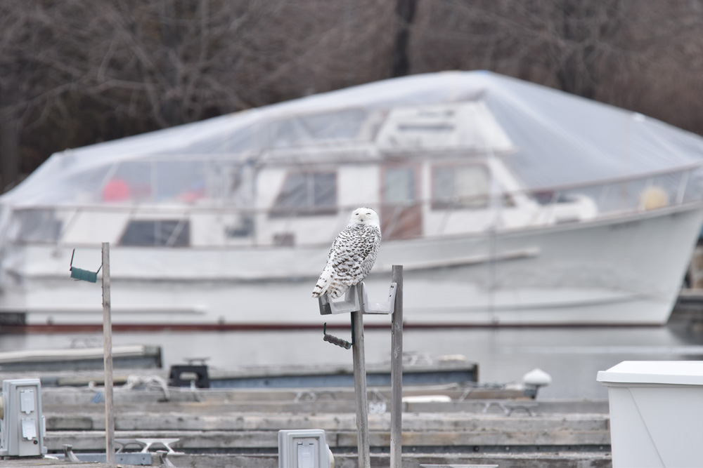 Photo of Snowy Owl and Yacht On NaturalCrooksDotCom