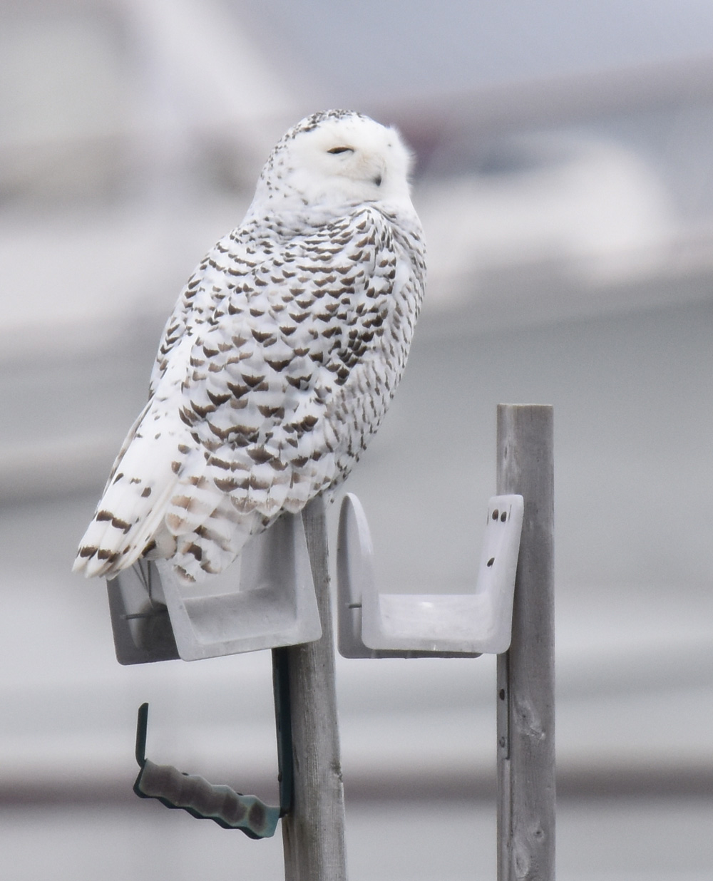 Photo of Snowy Owl at Colonel Sam Right Profile On NaturalCrooksDotCom