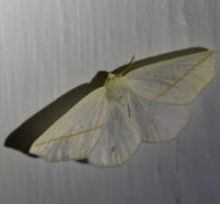 Photo of White Slant Line Moth Riverwood On NaturalCrooksDotCom