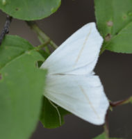 Photo of White Slant Line Moth on NaturalCrooksDotCom