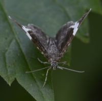 Photo of White Striped Black Moth June 17 On NaturalCrooksDotCom