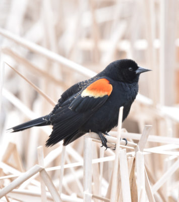 Photo of Red Winged Blackbird Cattails on NaturalCrooksDotCom