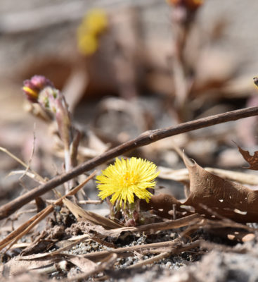 Photo of Coltsfoot April 13 on NaturalCrooksDotCom