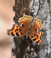 Photo of Compton Tortoiseshell Flies April 5 on NaturalCrooksDotCom