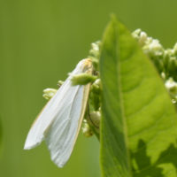 Photo of Delicate Cycnia Moth on Hemp Dogbane on NaturalCrooksDotCom