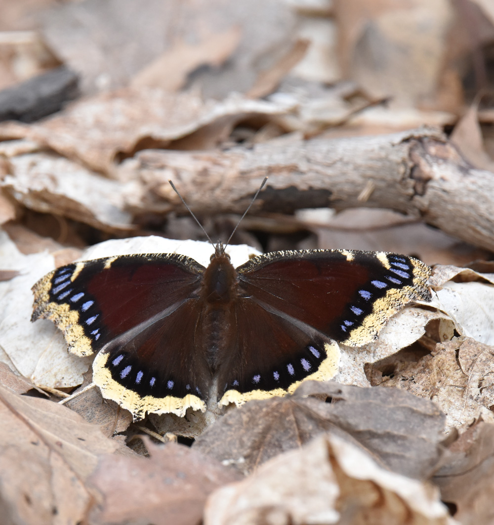 Photo of Mourning Cloak April 5 on NaturalCrooksDotCom