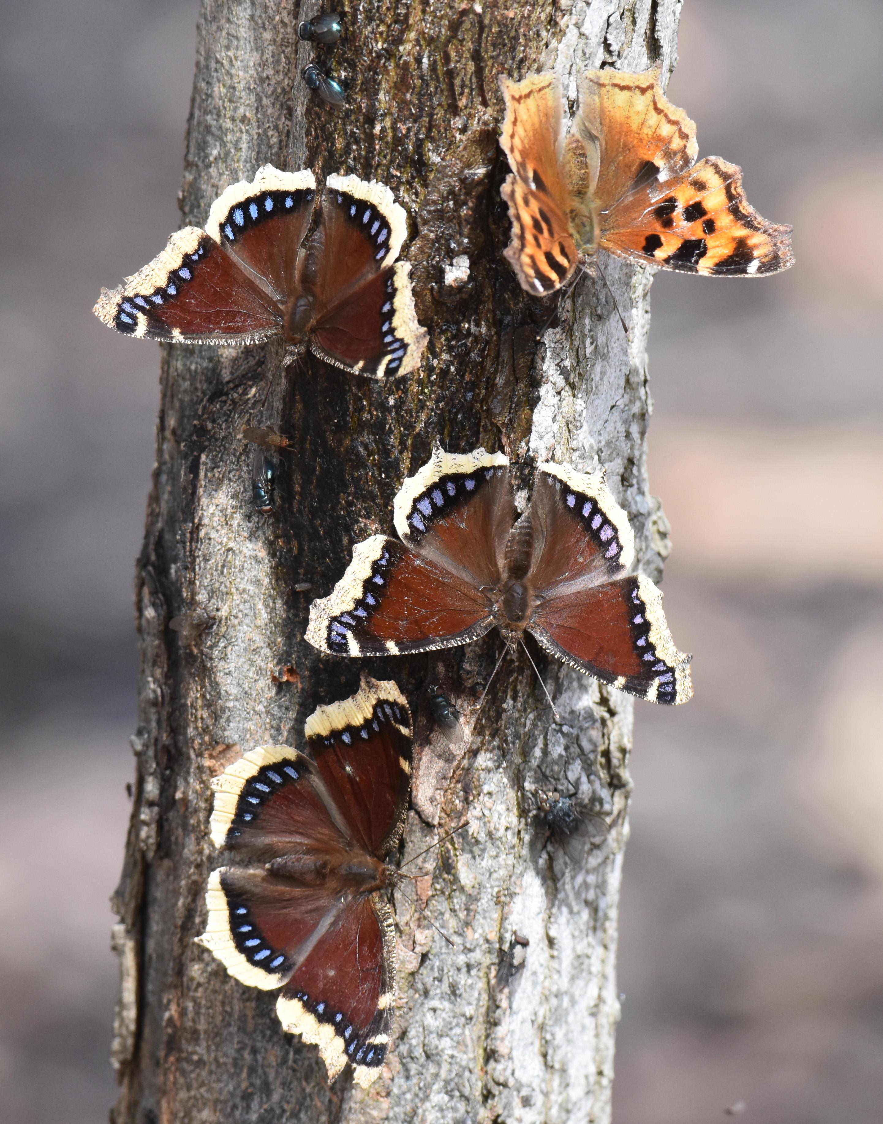 Photo of Mourning Cloaks 3 Compton Tortoiseshell April 5 Sap on NaturalCrooksDotCom