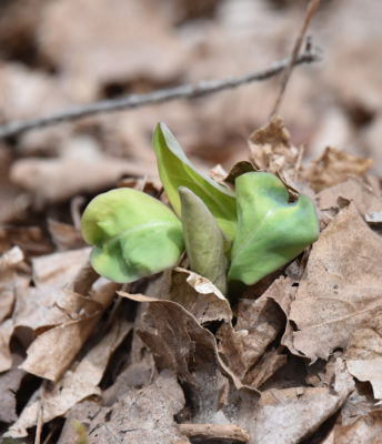 Photo of Virginia Bluebell Sprout April 13 on NaturalCrooksDotCom