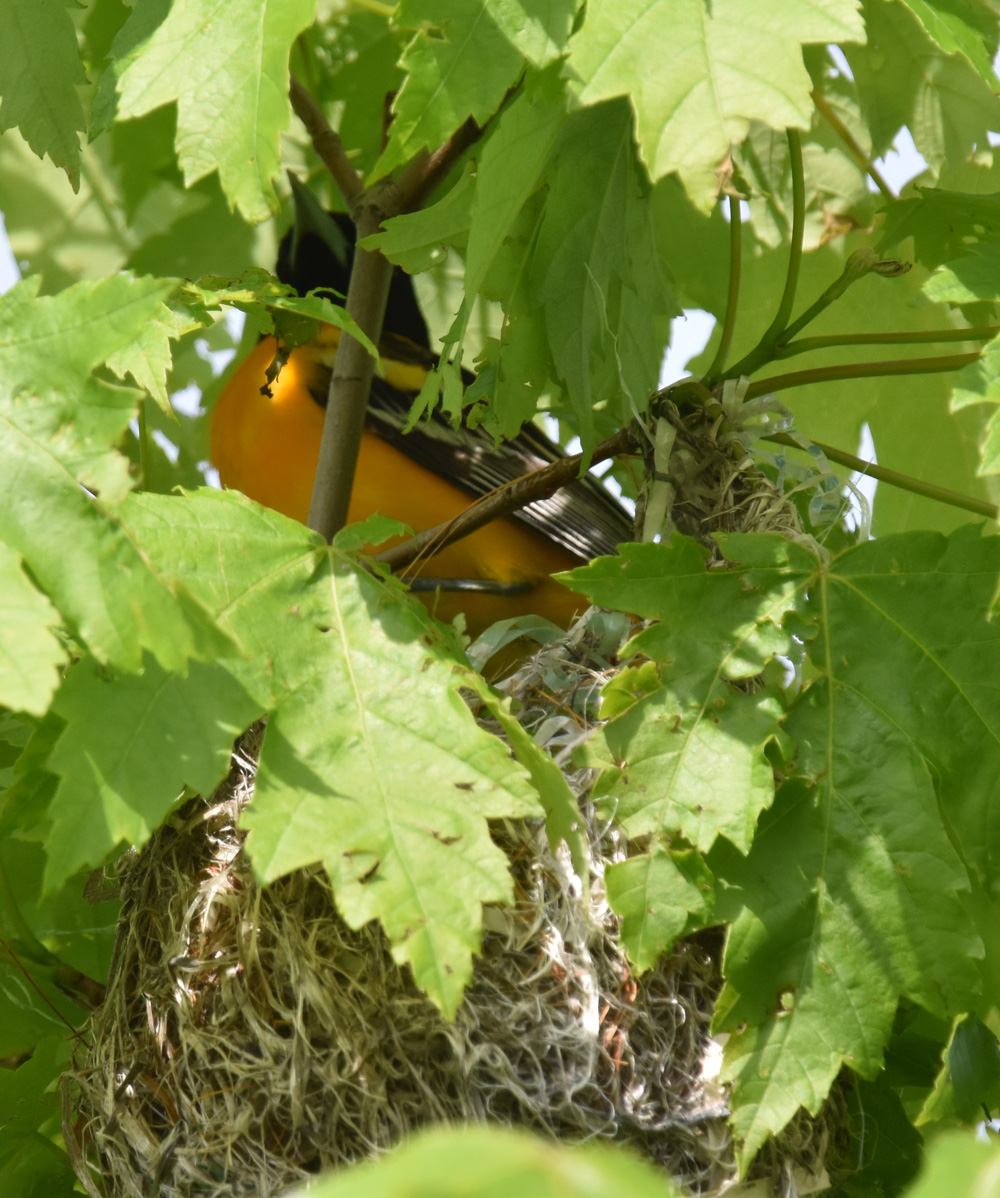 Photo of Baltimore Oriole Nesting on NaturalCrooksDotCom