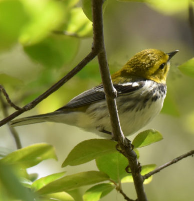 Photo of Black Throated Green warbler Lakeside Pk Mississauga ON Canada 20170514 On NaturalCrooksDotCom