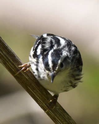 Photo of Black and White Warbler Lakeside Pk Mississauga ON Canada 20170514 On NaturalCrooksDotCom