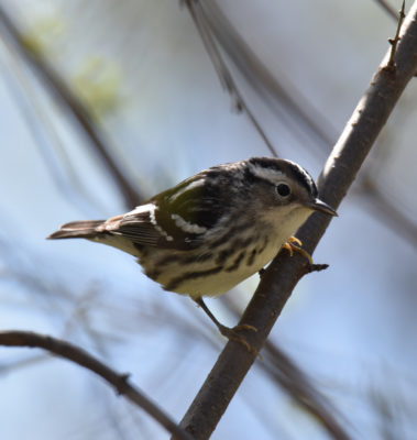Photo of Black and White Warbler May 3 on NaturalCrooksDotCom