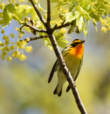 Photo of Blackburnian Warbler Male B Lakeside Pk Mississauga ON Canada 20170514 On NaturalCrooksDotCom