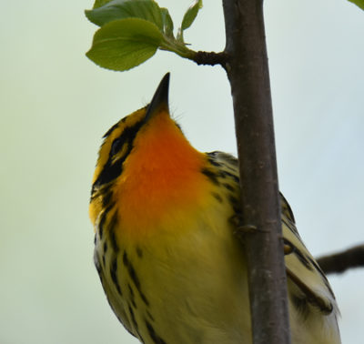 Photo of Blackburnian Warbler Male Lakeside Pk Mississauga ON Canada 20170514 On NaturalCrooksDotCom