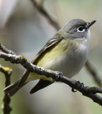 Photo of Blue Headed Vireo Lakeside Pk Mississauga ON Canada 20170514 On NaturalCrooksDotCom