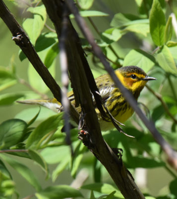 Photo of Cape May Warbler On NaturalCrooksDotCom
