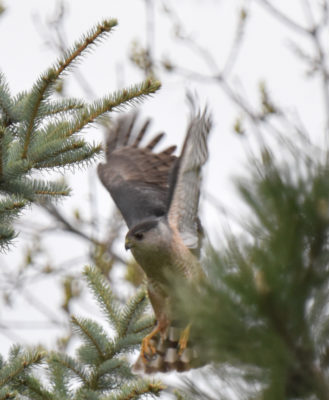 Photo of Coopers Hawk May 6 on NaturalCrooksDotCom