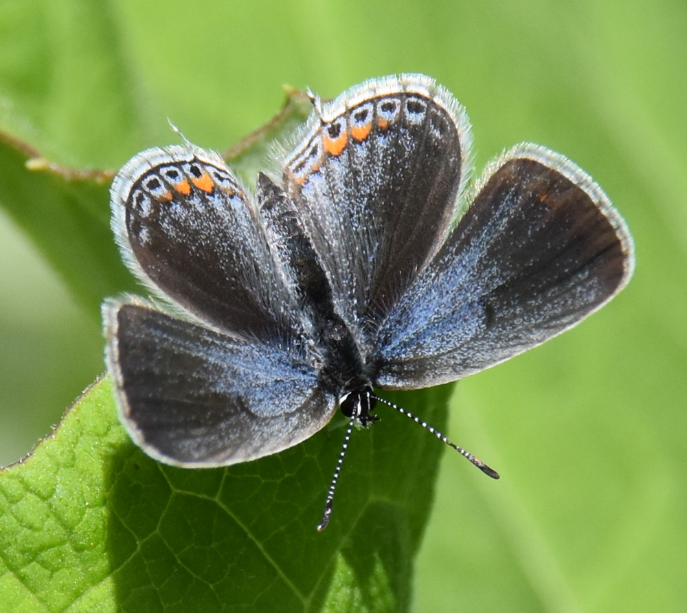 Photo of Eastern Tailed Blue F RiverwoodConservancy MississaugaONCanada 20170528 on NaturalCrooksDotCom