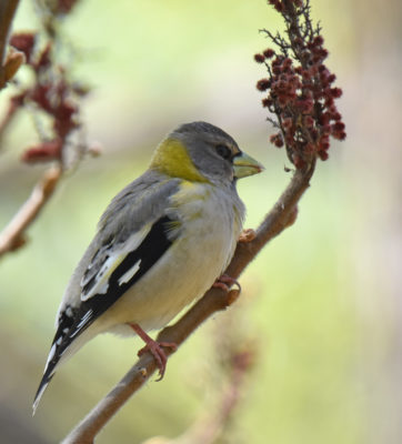 Photo of Evening Grosbeak Female May 3 On NaturalCrooksDotCom