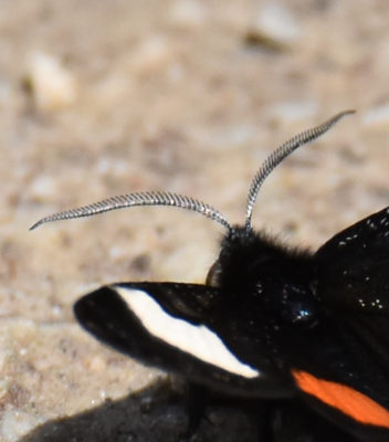 Photo of Grapevine Epimenis Antenna on NaturalCrooksDotCom
