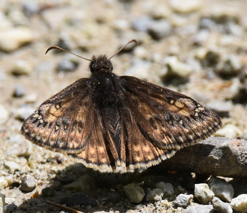Photo of Juvenals Duskywing Riverwood Conservancy MississaugaONCanada 20170528 on NaturalCrooksDotCom