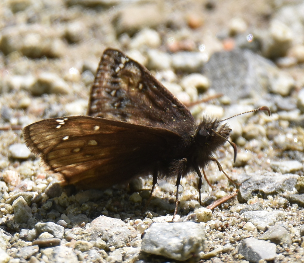 Photo of Juvenals Duskywing Underside RiverwoodConservancy MississaugaONCanada 20170528 on NaturalCrooksDotCom