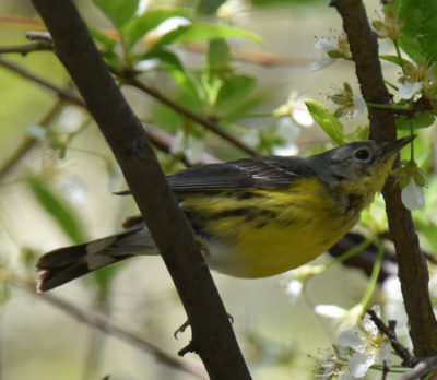 Photo of Magnolia Warbler Female or Imm Lakeside Pk Mississauga ON Canada 20170514 On NaturalCrooksDotCom