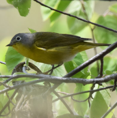 Photo of Nashville Warbler B Lakeside Pk Mississauga ON Canada 20170514 On NaturalCrooksDotCom