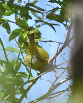 Photo of Nashville Warbler Wrong End May 3 on NaturalCrooksDotCom