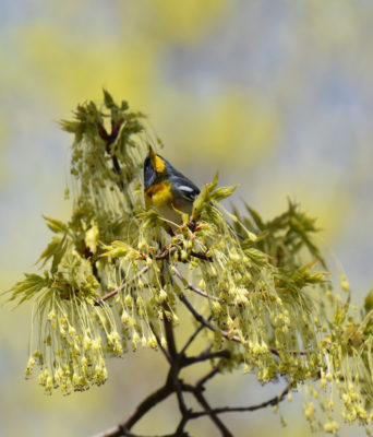 Photo of Northern Parula Pyramid with Maple Blossoms May 3 on NaturalCrooksDotCom