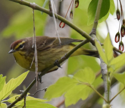 Photo of Palm Warbler Lakeside Pk Mississauga ON Canada 20170514 On NaturalCrooksDotCom