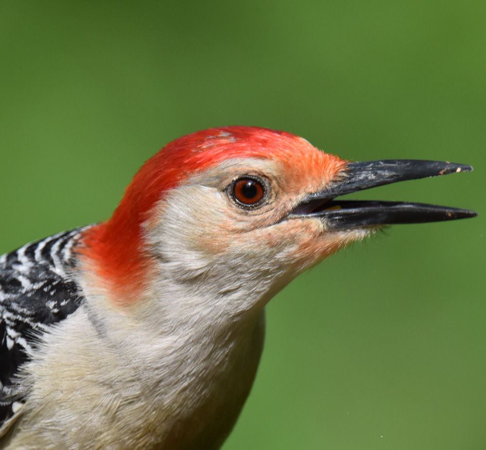 Photo of Red Bellied Woodpecker Head on NaturalCrooksDotCom