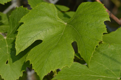 Photo of Riverbank Grape Leaf on NaturalCrooksDotCom