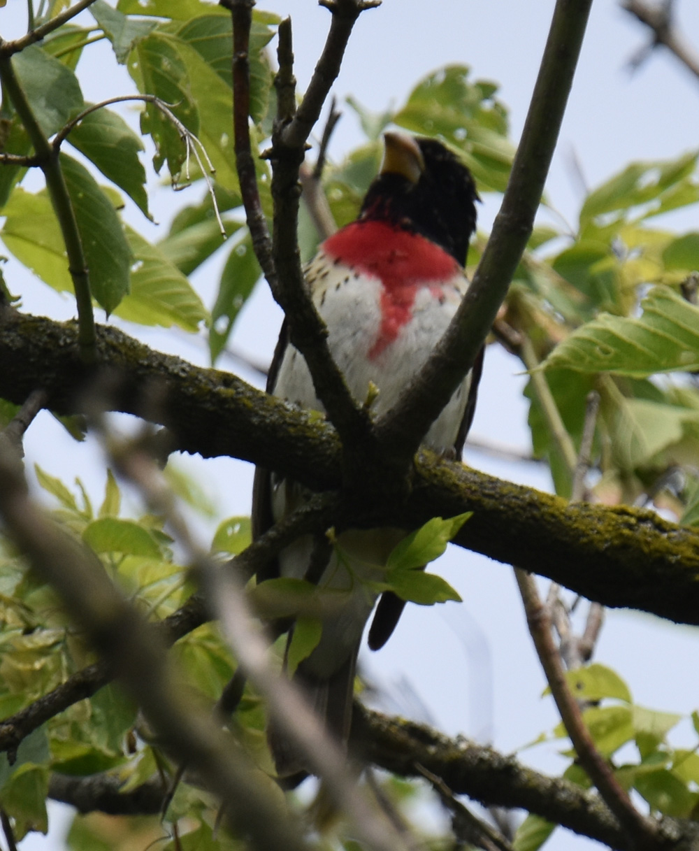 Photo of Rose Breasted Grosbeak Singing on NaturalCrooksDotCom